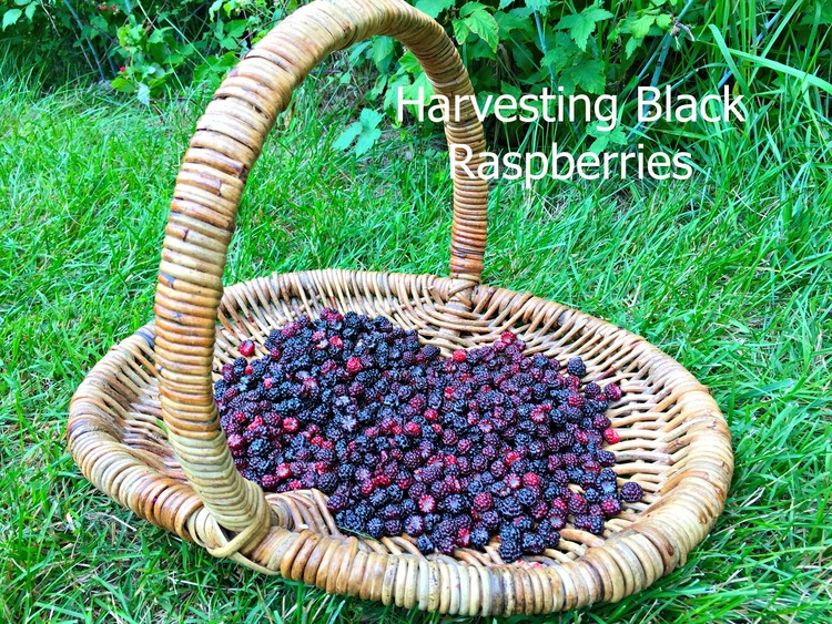 harvestingblackraspberries