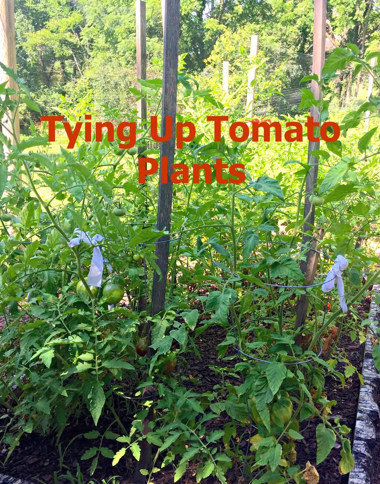Tying Tomatoes – Quick Tip Friday
