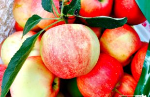 It's All About Apples – Delicious Recipes and Quick Apple Tips