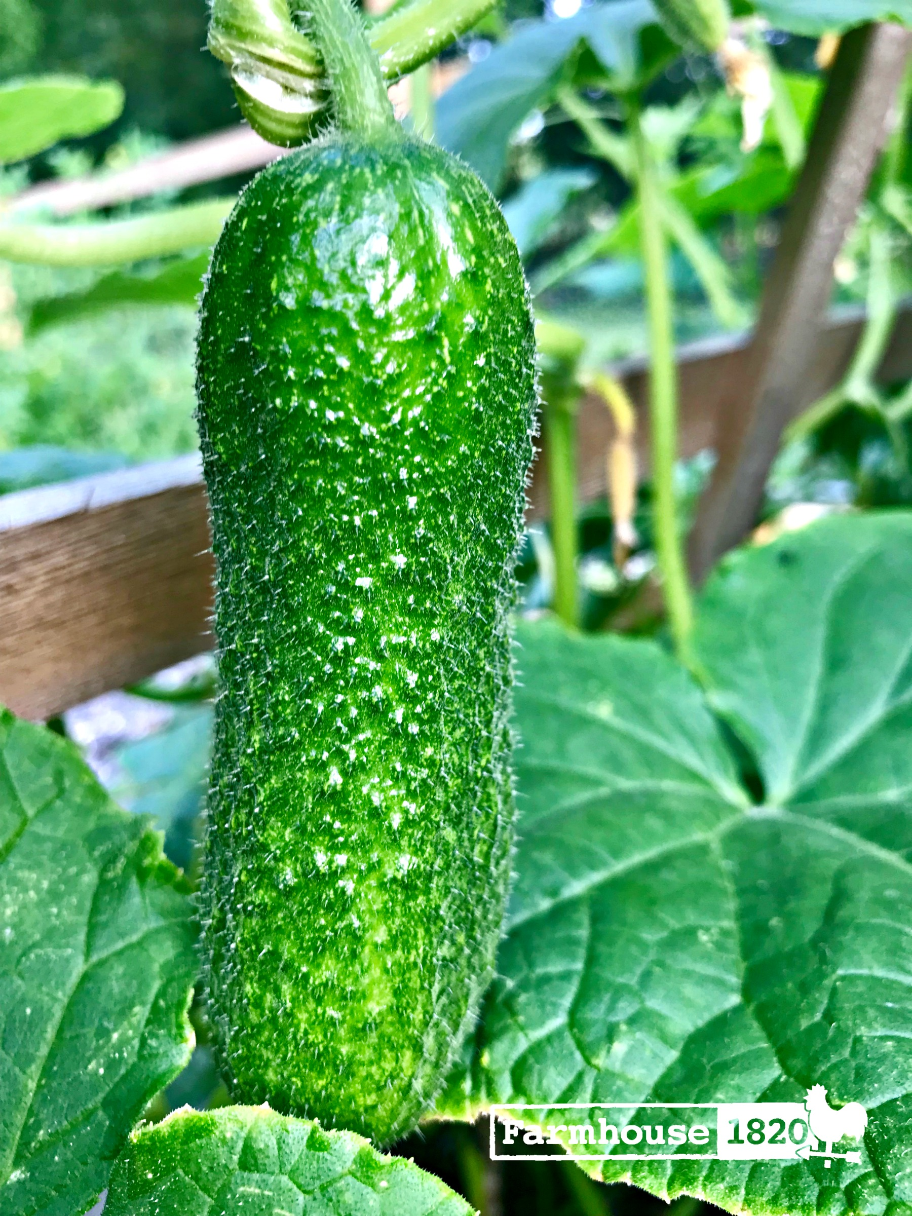 garden 2018 - cucumber on the vine