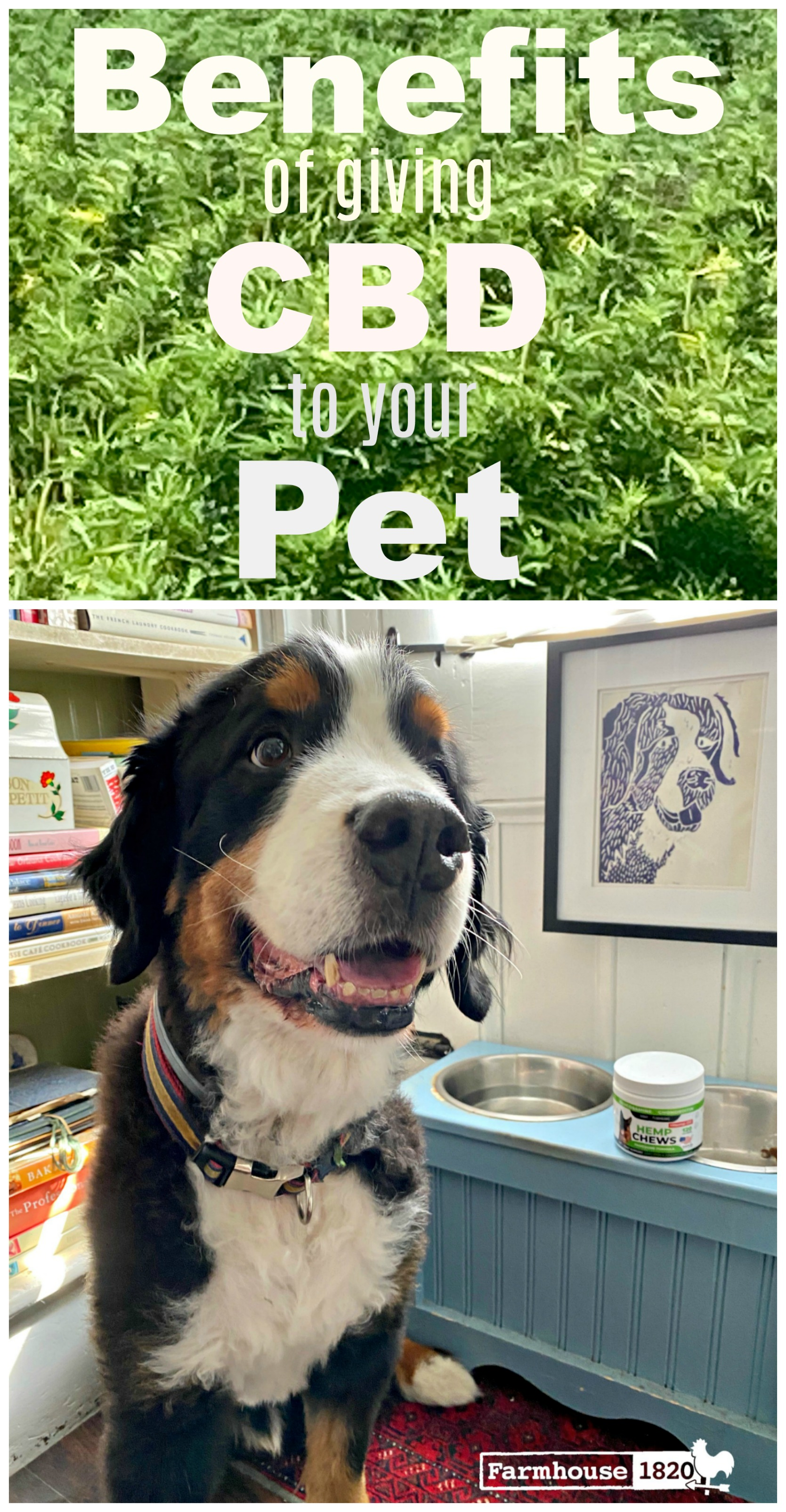 Pinterest - benefits of giving CBD to your pet