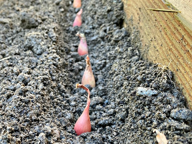The Facts On Planting Shallots And A Guide